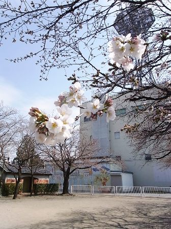三角公園と桜