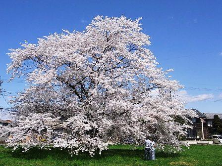 「上野国分寺跡」の一本桜