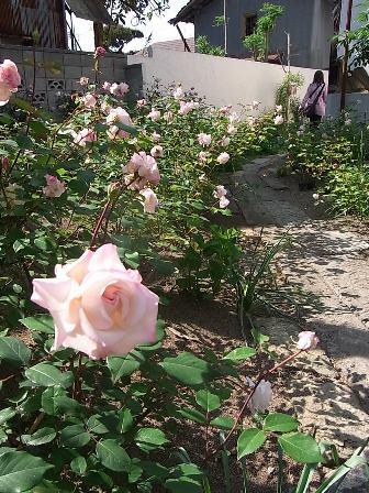 ブリューナのバラ