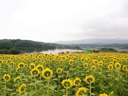 丹生湖とひまわり
